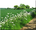 TM4193 : Cow parsley beside Boot's Lane by Evelyn Simak