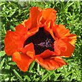 SE6577 : Roadside poppy, Stonegrave by Pauline E