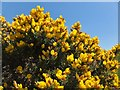 NT4927 : Glorious gorse by Barbara Carr