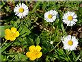 J3371 : Buttercups and daisies, Belfast by Albert Bridge
