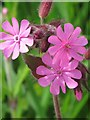 NY8446 : Red Campion near the ruins of Allenheads Smelt Mill by Mike Quinn