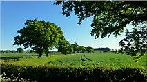 SO7729 : Oaks in early summer by Jonathan Billinger