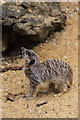 TL3306 : Meerkat at Paradise Wildlife Park, Hertfordshire by Christine Matthews