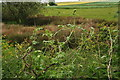 TF0451 : Self supporting White Bryony by the A15 at Dunsby by Chris
