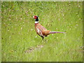 TM4583 : Pheasant off Southwell Lane by Adrian Cable