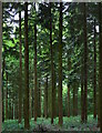 SU6475 : Dark pine woodland in Sulham Wood, Berkshire by Edmund Shaw