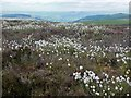 NT3932 : Cotton grass, Brown Knowe by Jim Barton