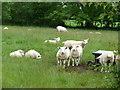 J1886 : Sheep, Islandreagh Road by Robert Ashby