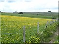 NY7760 : Field of buttercups near Huntershield Farm by Oliver Dixon