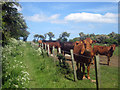 NU0740 : Cattle beside the footpath, Fenhamhill by Graham Robson