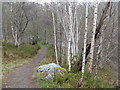 NH4458 : Silver birches on the path from the Falls of Rogie by M J Richardson