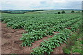 SO6424 : Field of potatoes near Bromsash by Philip Halling