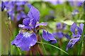 SK2169 : Iris sanguinea by Peter Barr