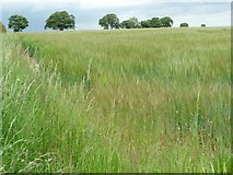SE8456 : Barley field on a windy day by Christine Johnstone