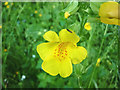 SD5770 : Monkeyflower in woodland by the Lune by Karl and Ali