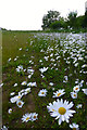 SK4833 : Daisies in Fox Covert by David Lally