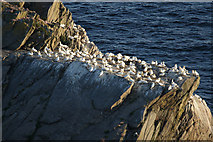 HP5917 : Gannets (Morus bassanus) on Flodda Stack, Hermaness by Mike Pennington