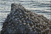 HP5917 : Gannets (Morus bassanus) on Burra Stack, Hermaness by Mike Pennington