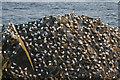 HP5917 : Gannets (Morus bassanus) on Humla Stack, Hermaness by Mike Pennington