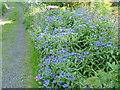 NT0774 : Knapweed (Centaurea montana) by the track side by Alan Murray-Rust