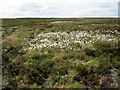 SE1184 : Cotton Grass on Braithwaite Moor by Chris Heaton
