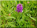 NS3978 : Northern Marsh-orchid (Dactylorhiza purpurella) by Lairich Rig
