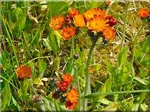 NS3978 : Orange Hawkweed by Lairich Rig