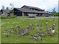 SO1210 : Juvenile Canada Geese, Bryn Bach Park by Robin Drayton