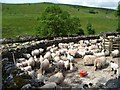 SD9078 : Hundreds of penned sheep at Yockenthwaite by Christine Johnstone