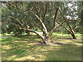 TQ1877 : Spinning gum - Eucalyptus perriniana - Kew gardens by David Hawgood