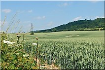 TQ5959 : Wheatfield below White Hill by John Myers