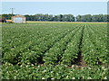 TL4386 : Potato crop on Langwood Fen Drove, Horseway by Richard Humphrey