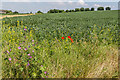 TL1932 : Broad Bean Field, Cadwell Farm, Hitchin Lavender, Hitchin, Hertfordshire by Christine Matthews