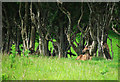 J4172 : Fawn near Dundonald by Rossographer