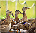 J4967 : Mallards, Castle Espie by Rossographer