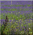 TL1932 : Grass and Lavender, Cadwell Farm, Hitchin Lavender, Hertfordshire by Christine Matthews