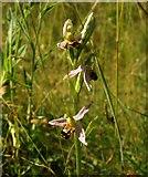 SX9066 : Bee orchid, former Barton tip by Derek Harper