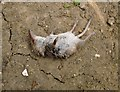 TQ1450 : A tail of woe: a shrew found dead by Stefan Czapski