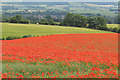 TA0186 : Poppy field, north of Irton by Pauline E