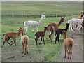 HU3790 : North Roe: alpacas by Chris Downer