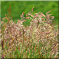 D0143 : Grasses in seed, White Park Bay by Rossographer