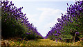 TQ2760 : Mayfield Lavender, Woodmansterne by Peter Trimming