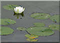 SE9364 : Lily pads and dragonflies by Pauline E