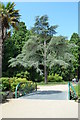 TQ8010 : Blue Atlas Cedar, Alexandra Park, Hastings by Peregrine