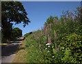 SS7714 : Rosebay Willowherb near Grove House by Derek Harper