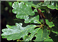 J4453 : Oak leaves, Glasswater Wood, Crossgar (1) by Albert Bridge