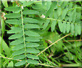 J4453 : Tufted vetch leaves, Glasswater Wood, Crossgar by Albert Bridge