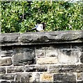 SJ9694 : Magpie on Green Lane Bridge by Gerald England