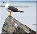 J5370 : Lesser black-backed gull, Strangford Lough by Albert Bridge