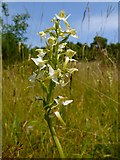 NS3978 : Greater Butterfly-orchid (Platanthera chlorantha) by Lairich Rig